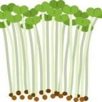 ブロッコリースプラウトを種から栽培!育て方は至って超シンプル
